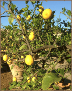 Potted Lemon Trees in Italy